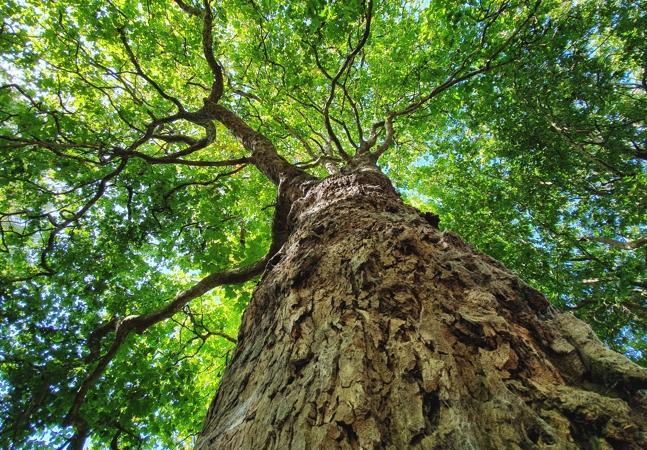 Árvores passaram a ter uma vida mais curta e isso é preocupante, segundo cientistas