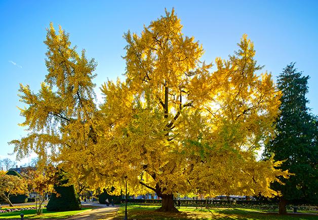 Árvore de ginkgo biloba com as folhas amarelas