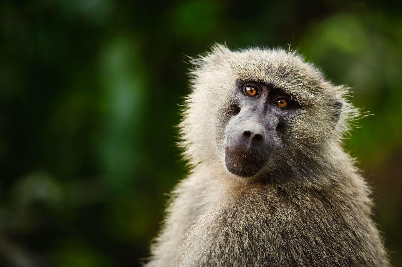 Babuínos revelam origem de civilização africana