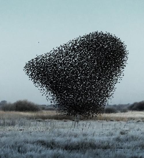 Migração de pássaros vira obra de arte pelas lentes de fotógrafo dinamarquês