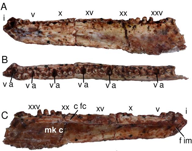 Ossos do crânio do Karutia fortunata, lagarto pré-histórico descoberto no Piauí