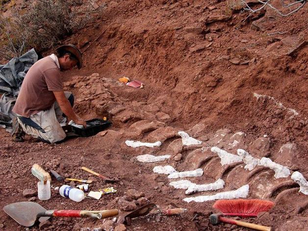 Parte da ossada da cauda encontrada na Patagônia