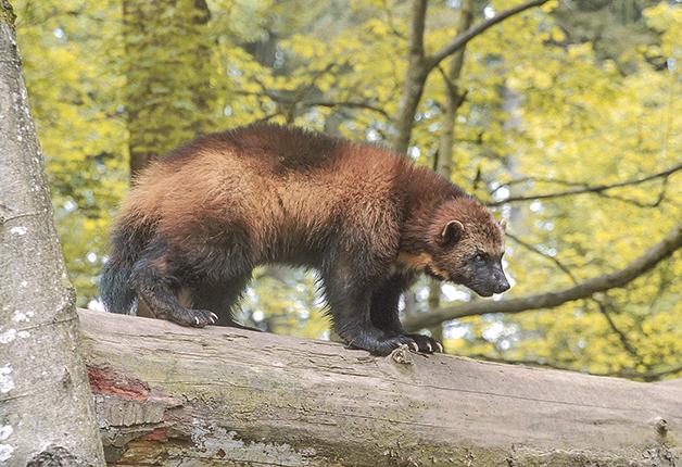 Um glutão, também conhecido como wolverine, sobre uma árvore nos EUA
