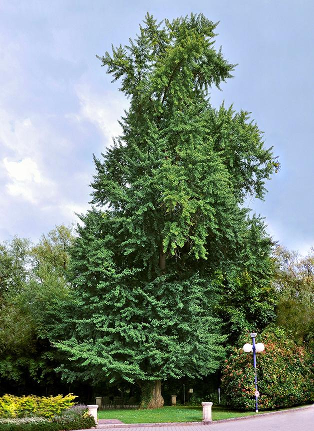 árvore de ginkgo biloba