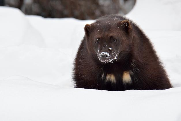 Um glutão na neve, no Canadá