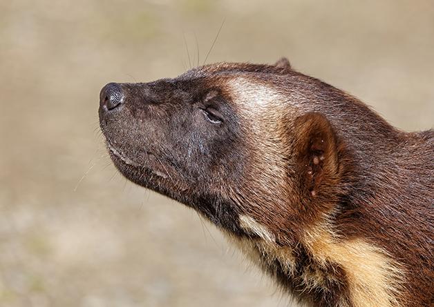 O perfil do wolverine em um parque no Alasca, nos EUA