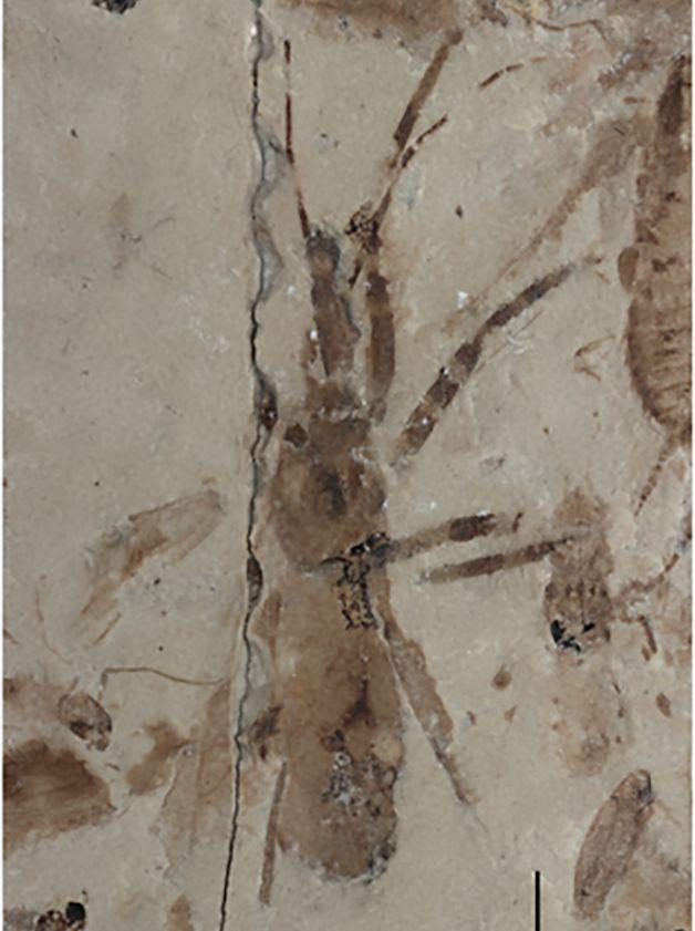 Marca do Aphelicophontes danjuddi deixada na pedra