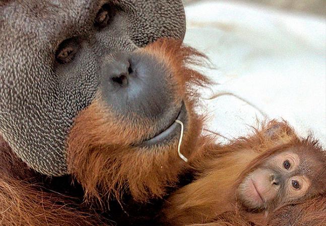 Orangotango cuidando da filha depois da morte da mãe comove a internet nos EUA