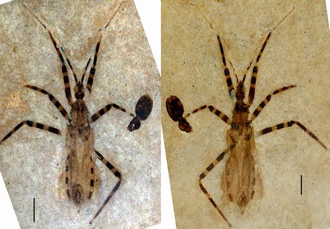 Fóssil de inseto assassino de 50 milhões de anos preserva genitália