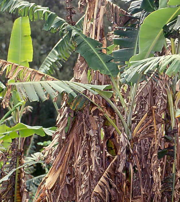 Bananeira tomada pelo fungo do Mal do Panamá