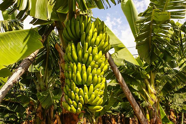 Bananeira Cavendish na Espanha