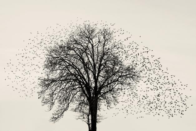Milhares de estorninhos em revoada no sul da Dinamarca fotografados por Søren Solkær