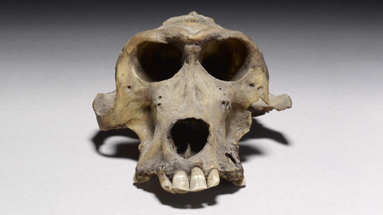Crânios de babuínos de 3.300 anos revelam origem de civilização misteriosa