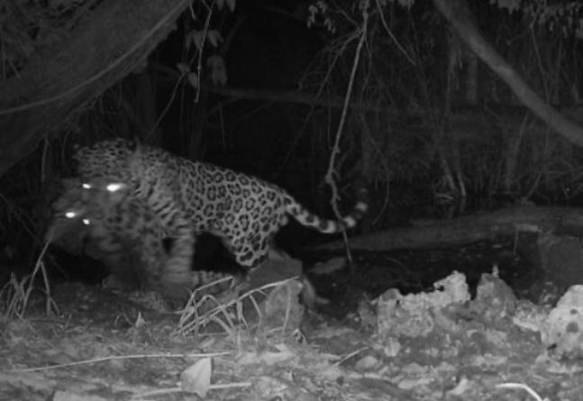 Vídeo mostra onça atacando jaguatirica em disputa por água por conta das mudanças climáticas