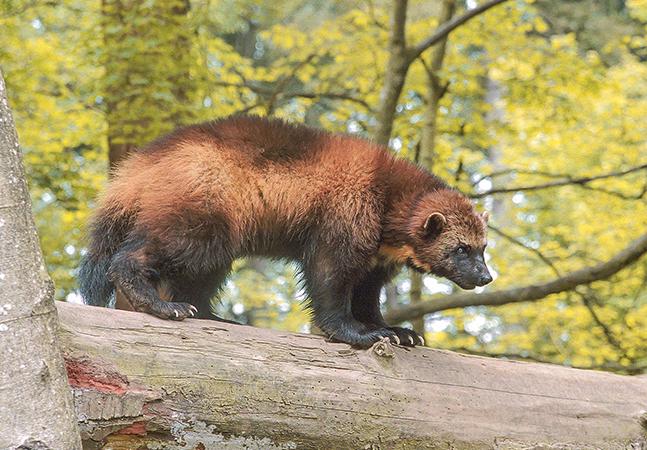 'Wolverine': mamífero raro é filmado pela 1ª vez em parque dos EUA