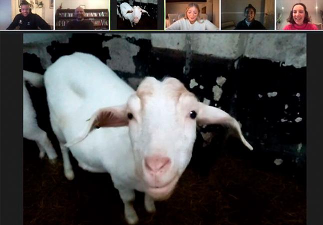 Fazendeiro empreendedor 'aluga' cabrinhas para videoconferências e faz uma fortuna