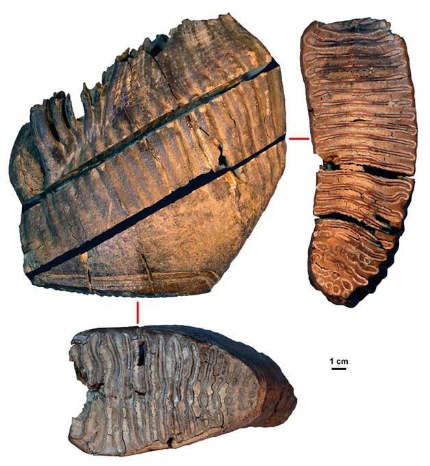 O fóssil Chukochya