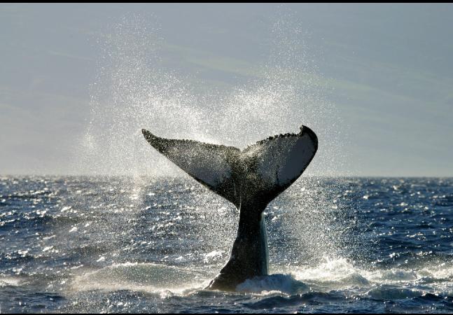 Baleias podem 'esfriar Terra' contra emergência climática; entenda