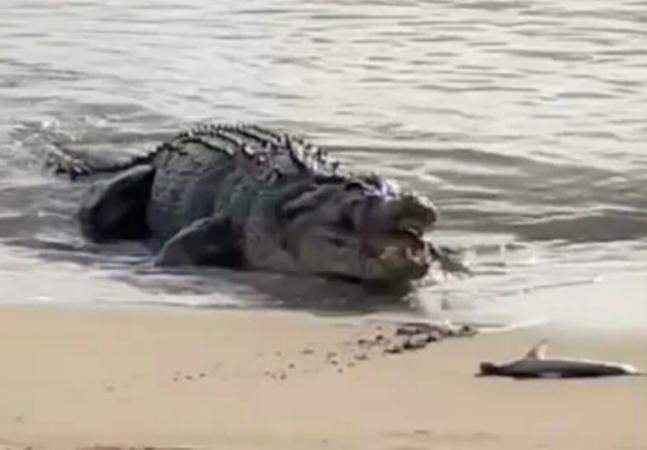 Crocodilo monstruoso de 4 metros come filhotes de tubarão encalhados em praia; veja vídeo