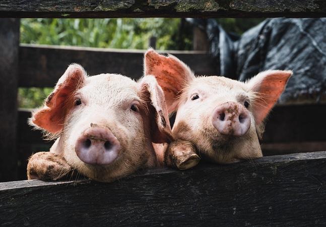 Porcos podem não voar, mas são capazes de jogar videogame, dizem cientistas