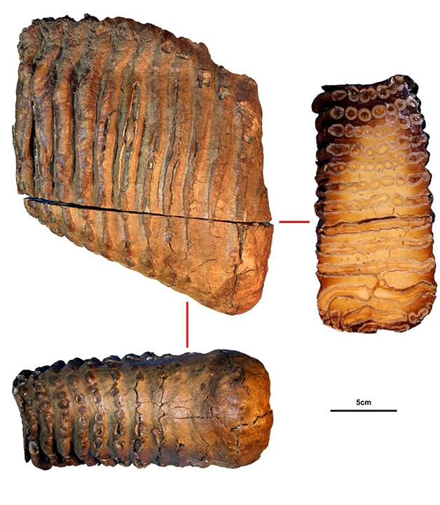 O fóssil Krestovka, presa do mamute onde se tirou o mais antigo DNA já registrado