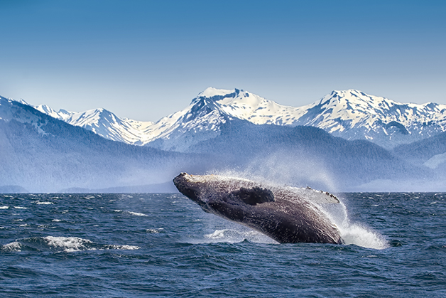 O salto da baleia-jubarte