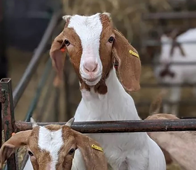 As cabras da fazenda Cronkshaw Fold Farm