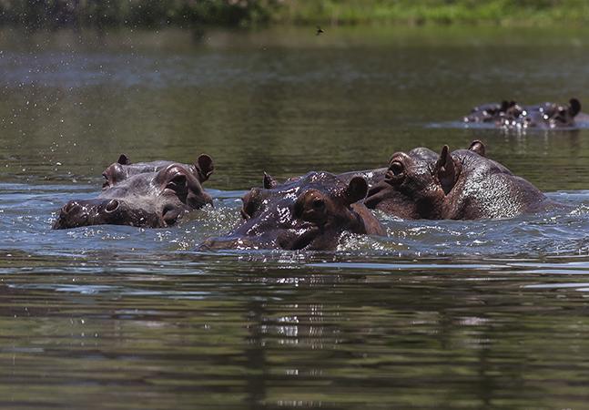 Por que ciência vê hipopótamos de Pablo Escobar como ameaça ao meio ambiente