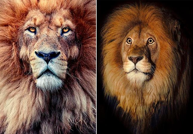 Sinfonia de leões, hipopótamos famintos e um tigre de cair o queixo em fotos espetaculares