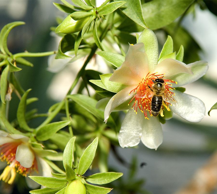 Foto de um exemplar da planta ora-pro-nóbis