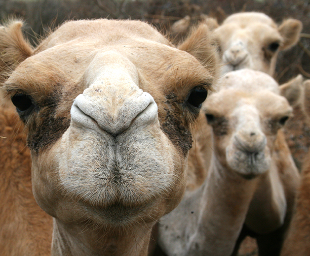 Grupo de camelos