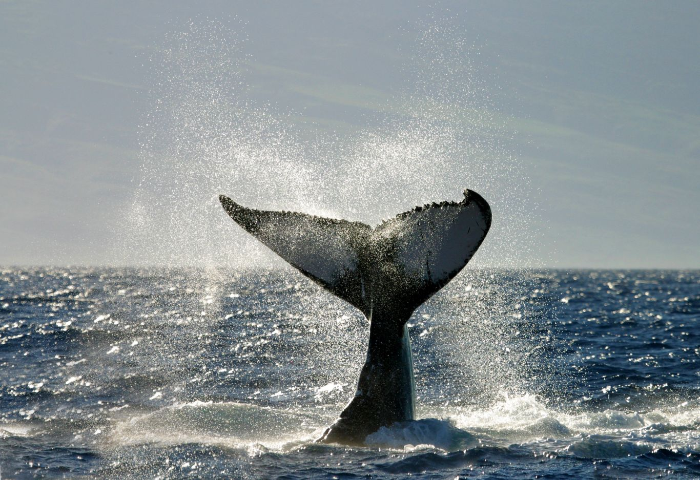 Calda de baleia no mar