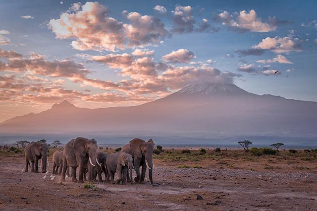 Um grupo de Elefantes-da-Savana em com o Monte Kilimanjaro, no Quênia, ao fundo