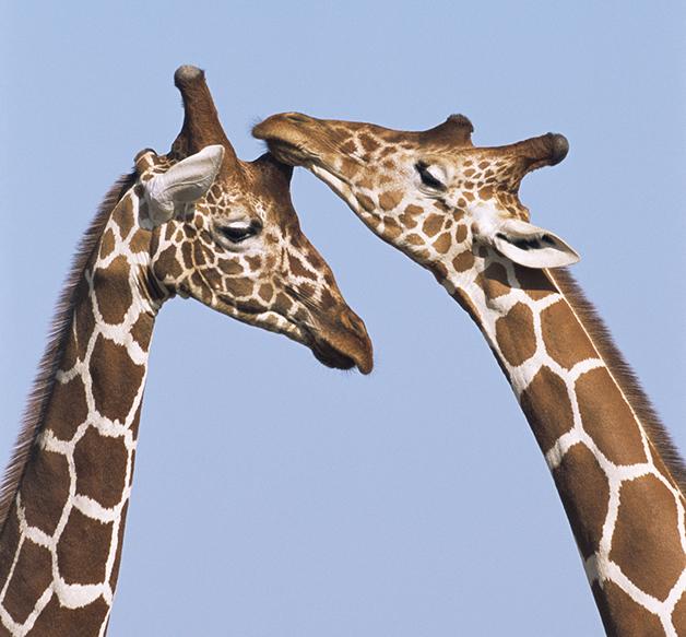 Duas girafas da espécie Giraffa camelopardalis, no Quênia