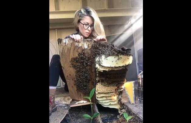 Erika Thompson removendo colmeia e resgatando abelhas