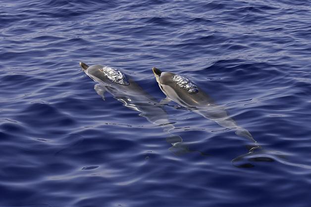 Dois golfinhos na superfície