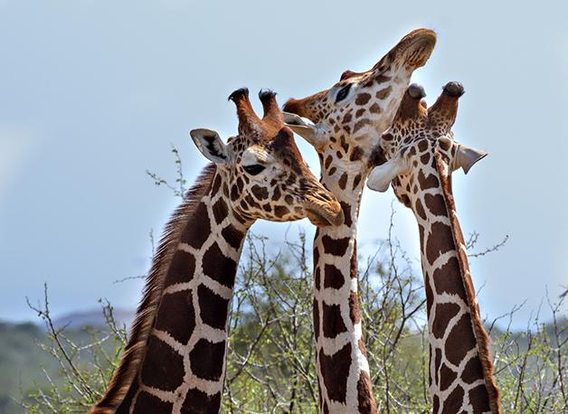 Três girafas no Quênia