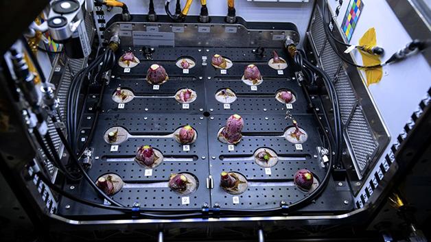 Cultivo de rabanetes realizado na Estação Espacial Internacional