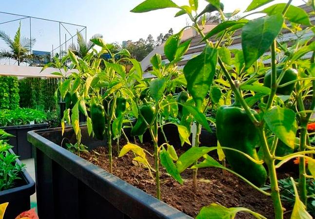 Fazenda urbana de Paraisópolis produziu 300 kg de hortaliças
