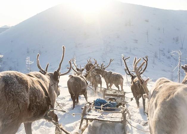 Renas carregando pessoas e pesos em Lacútia, na Rússia