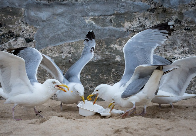 Gaivotas estão pesadas demais para voar por comerem muito fast-food