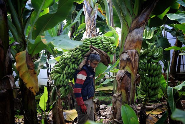 Produção de banana na Turquia