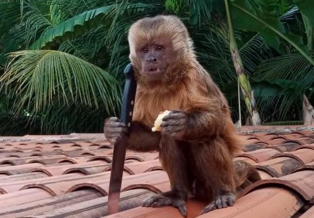 Macaco faz a festa em casa, quebra pratos e posa com faca roubada no telhado