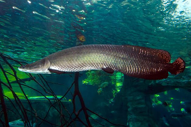 Um pirarucu em águas amazônicas