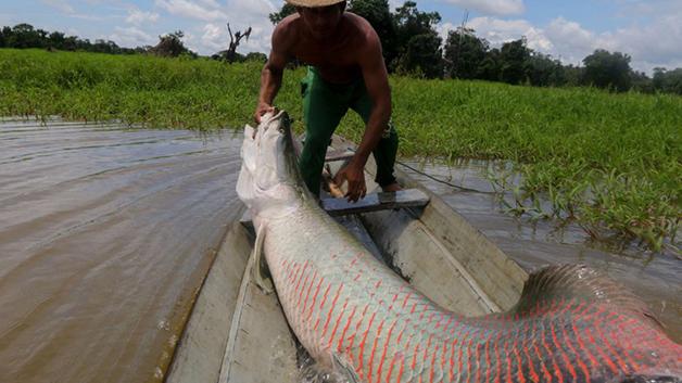 Pescador retirando um pirarucu das águas do Amazonas em 2019