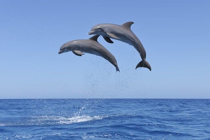 Golfinhos 'falam' entre si para combinar movimentos sincronizados; veja vídeo