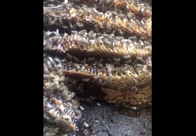 Detalhe da colmeia resgatada por Erika Thompson