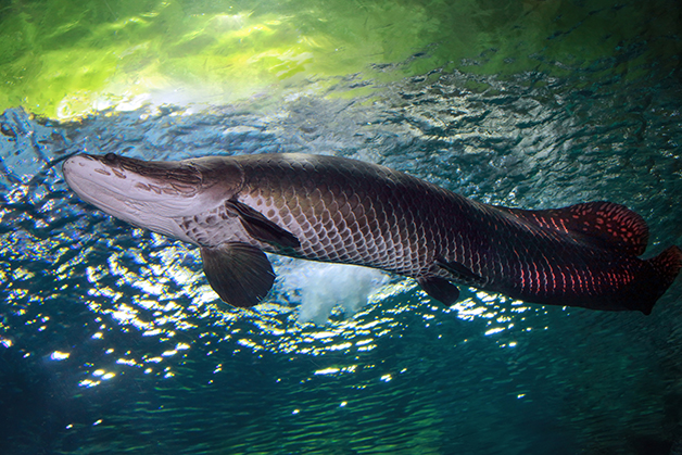Um Pirarucu nadando na bacia amzônica