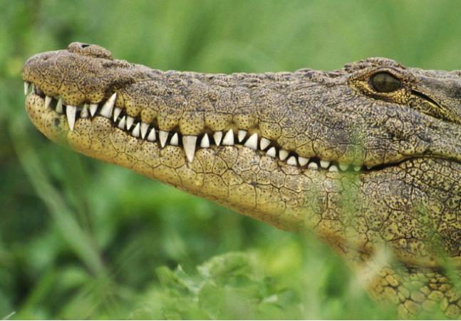 África do Sul sofreu com fuga em massa de crocodilos que deixou região em alerta