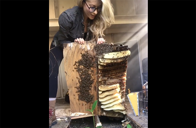 Erika Thompson removendo colmeia e resgatando abelhas no Texas
